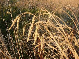 blés anciens