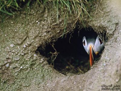 تكــاثر الطيور Puffins-nest