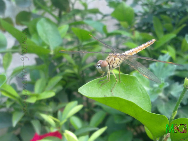 The Dragonfly posing for me on a leaf of my Arabian Jasmine plant.