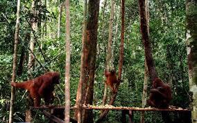 Pusat Rehabilitasi OrangUtan Camp Leakey Kalimantan Tengah