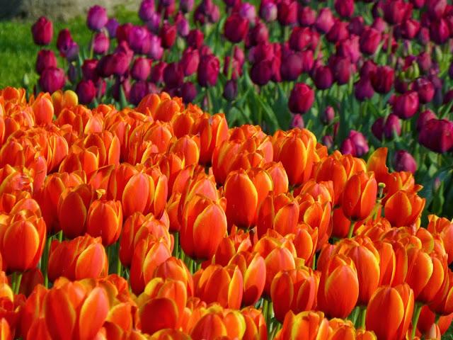 Tulipanes de Gulhane Park, Estambul