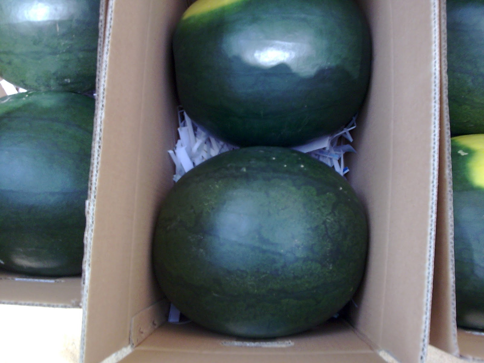 watermelon_suppliers_egypt