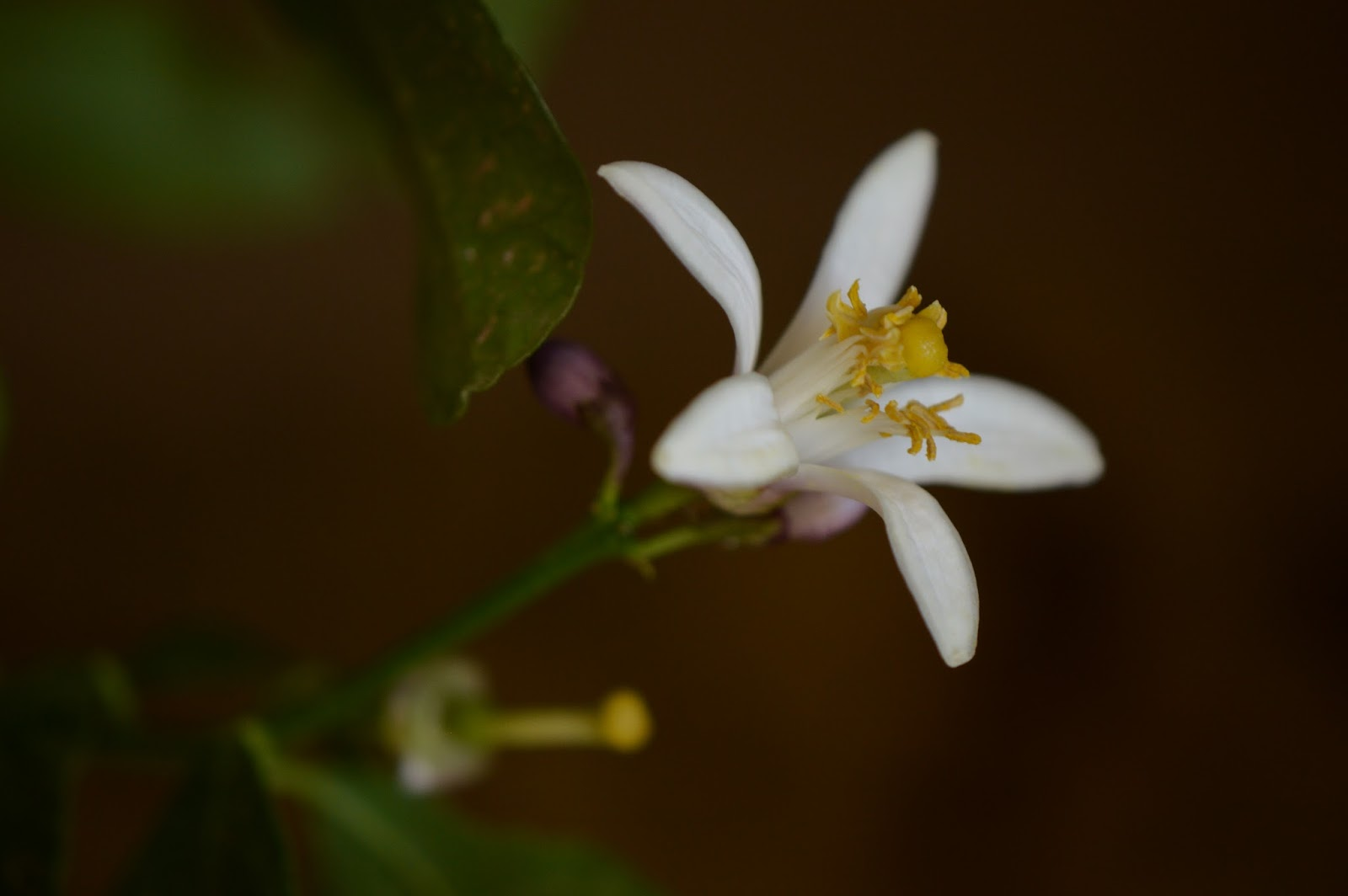 lemon blossom, amy myers photography