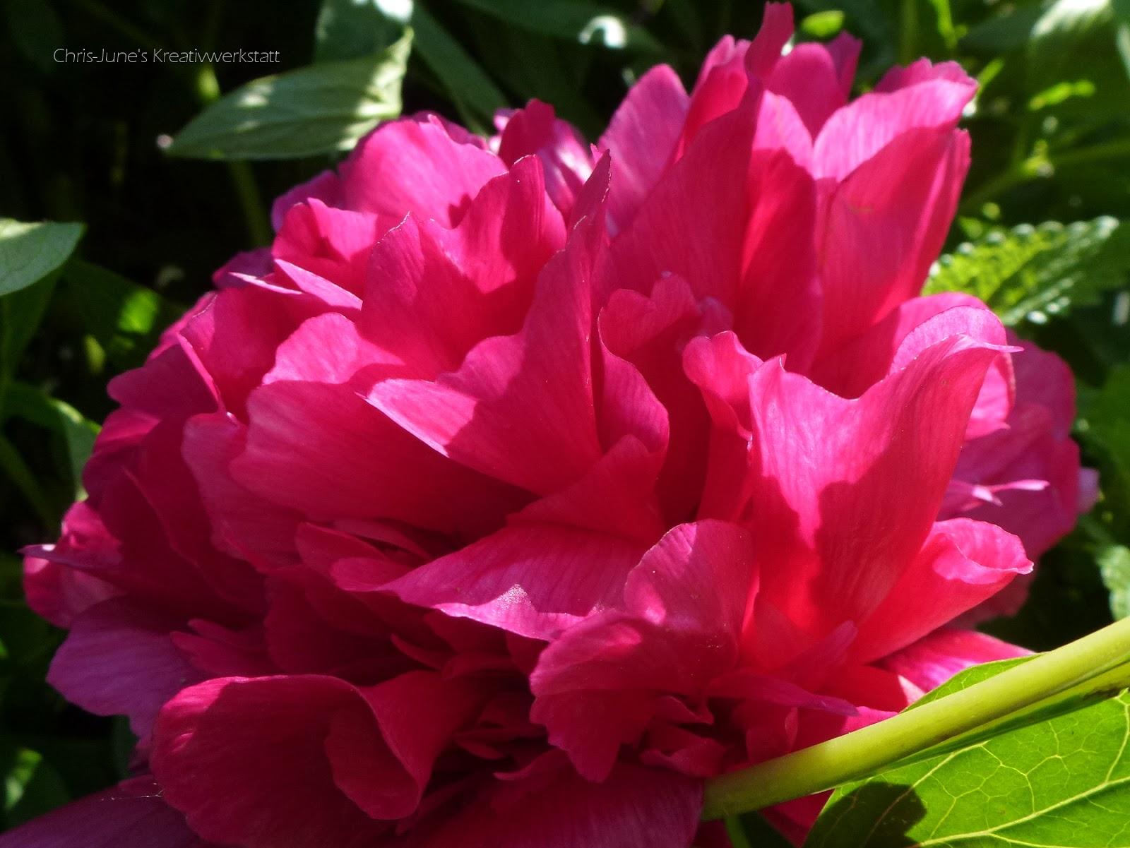 Pfingstrose pink