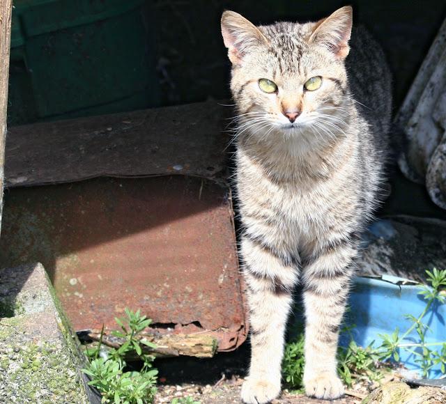 Dusty the brown shorthair tabby cat
