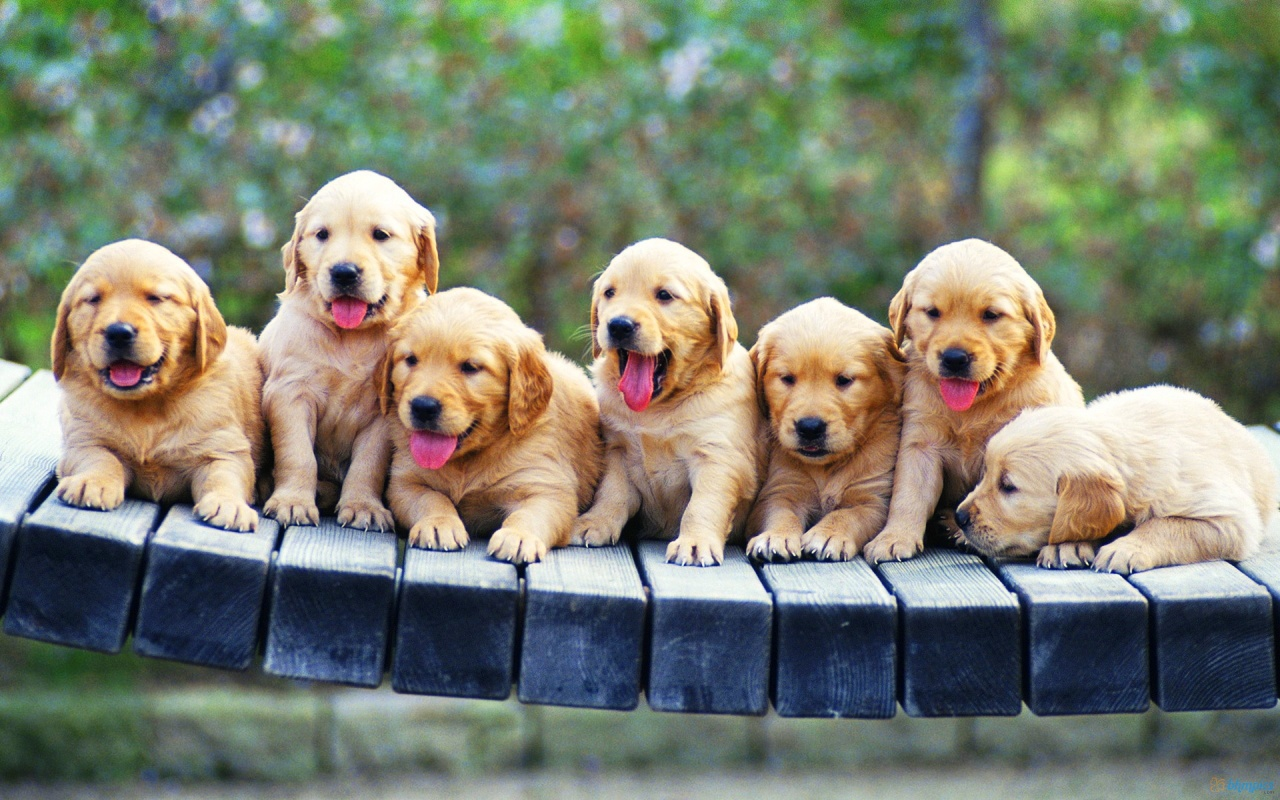 Seven Golden Retriever Puppies