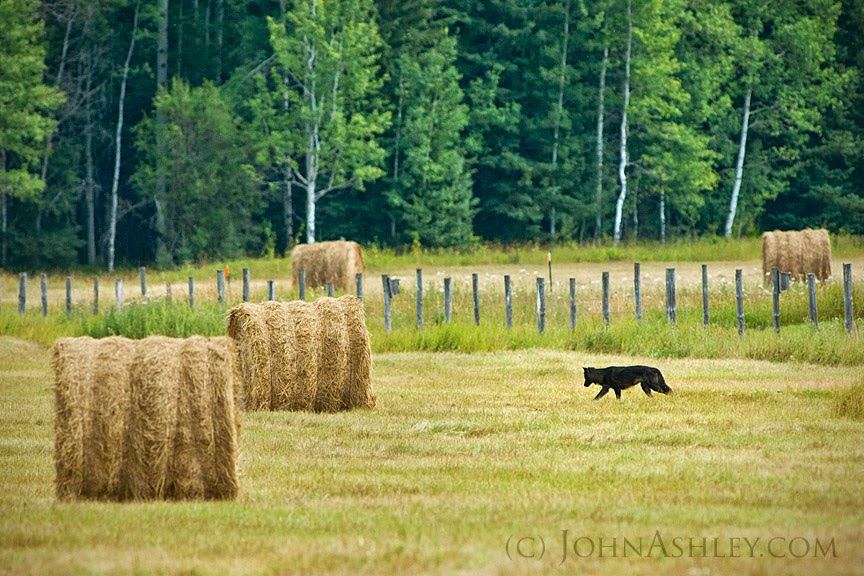 Wild Montana wolf (c) John Ashley