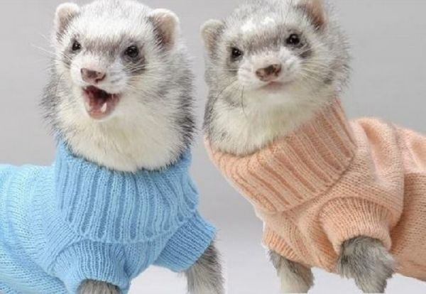 Zoo Animals: Funny Ferret Best Photos/Pictures 2012