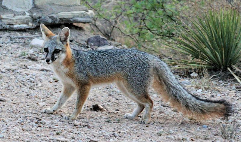 Gray fox habitat - photo#2