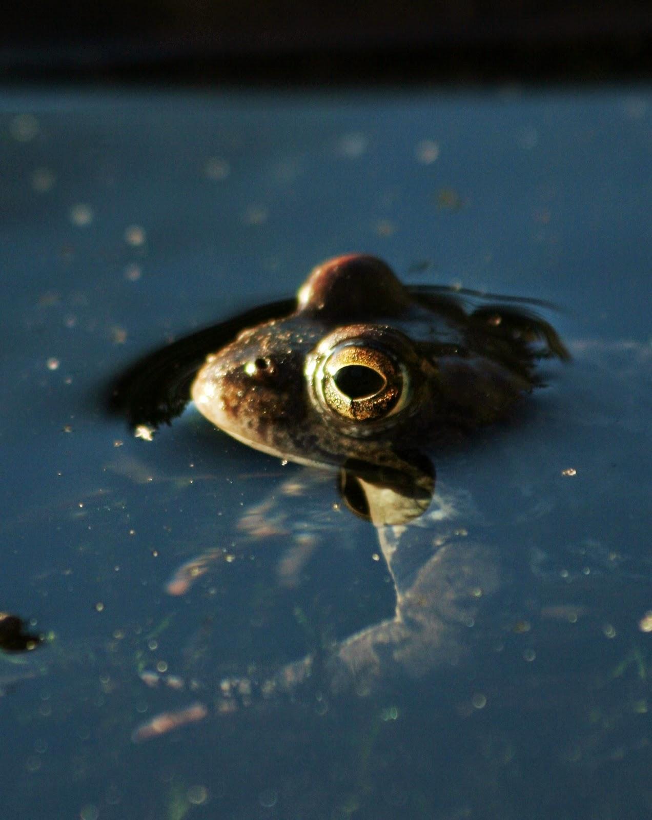 sammakko-lähikuva