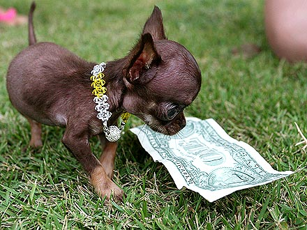 Funny Pictures Gallery: Smallest dog in the world, the ...