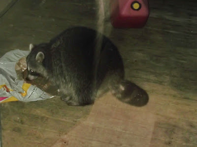 Coon eats cat food