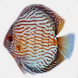 Ikan Discus jenis Red Royal Blue