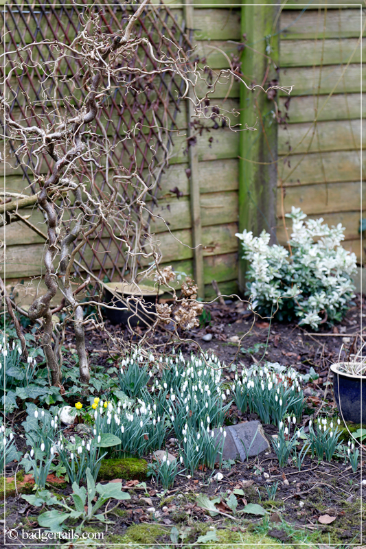 Garden in February with Snowdrops and Hazel