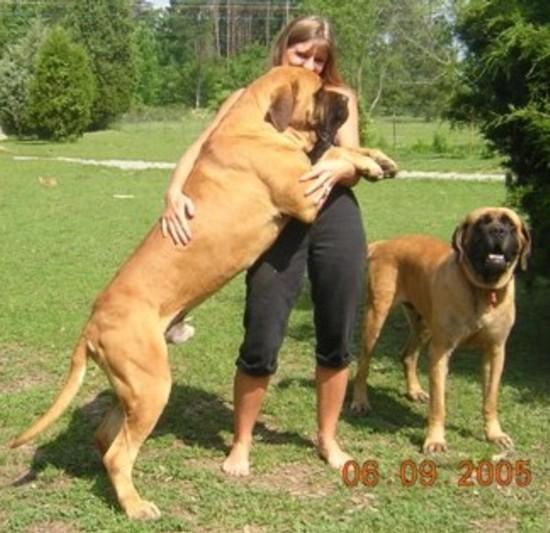 Information World Worlds Biggest Dogs