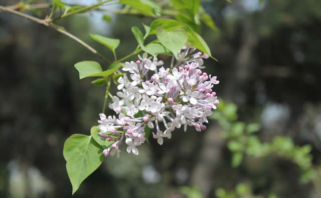 Lilac Flowers Pictures