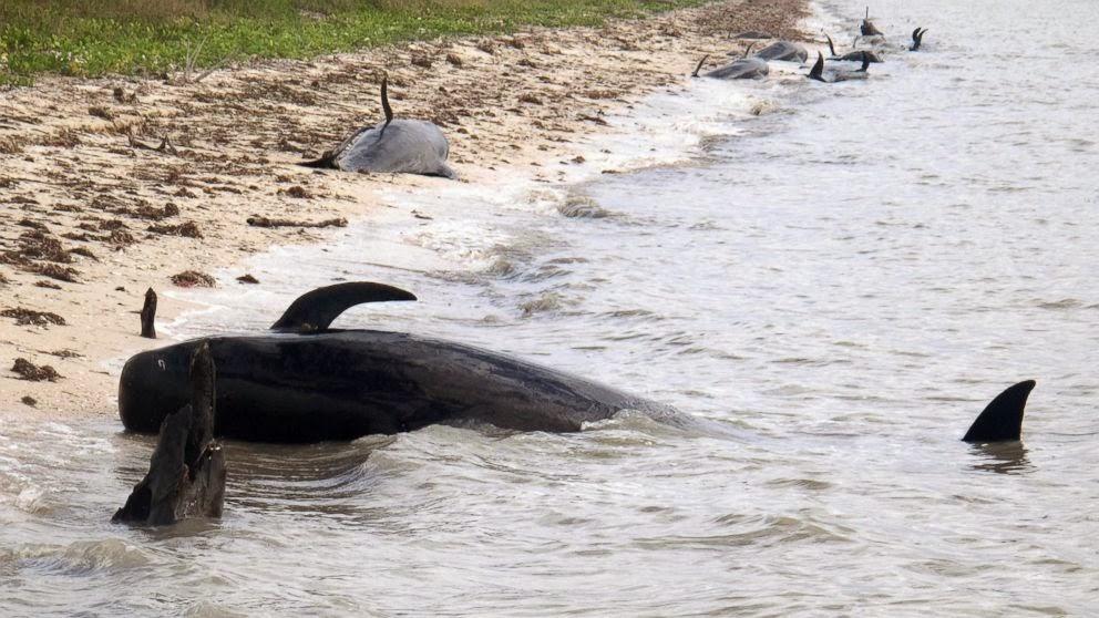 Dezenas de baleias estão encalhadas no Parque Nacional Everglades, dez já morreram. Crédito: AP