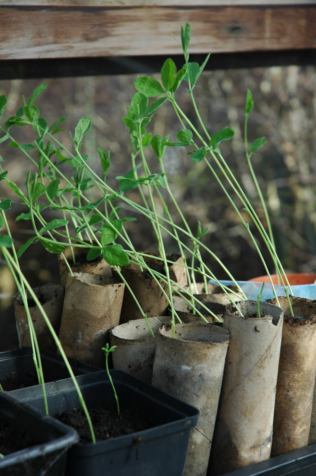 Recycled containers for sweet peas