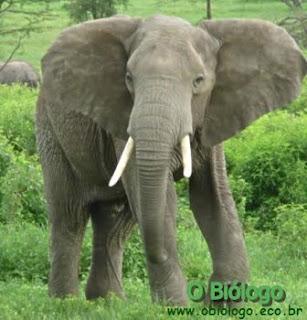 elefante-africano-das-florestas