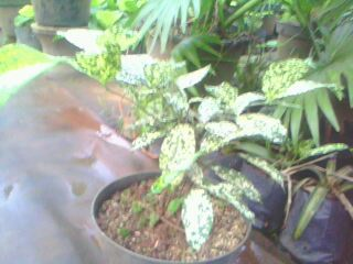 table plant bambu dracena sri rejeki