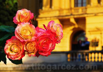 Rosas no jardim do Museu Paulista (ou Museu do Ipiranga), em São Paulo - Por Tito Garcez