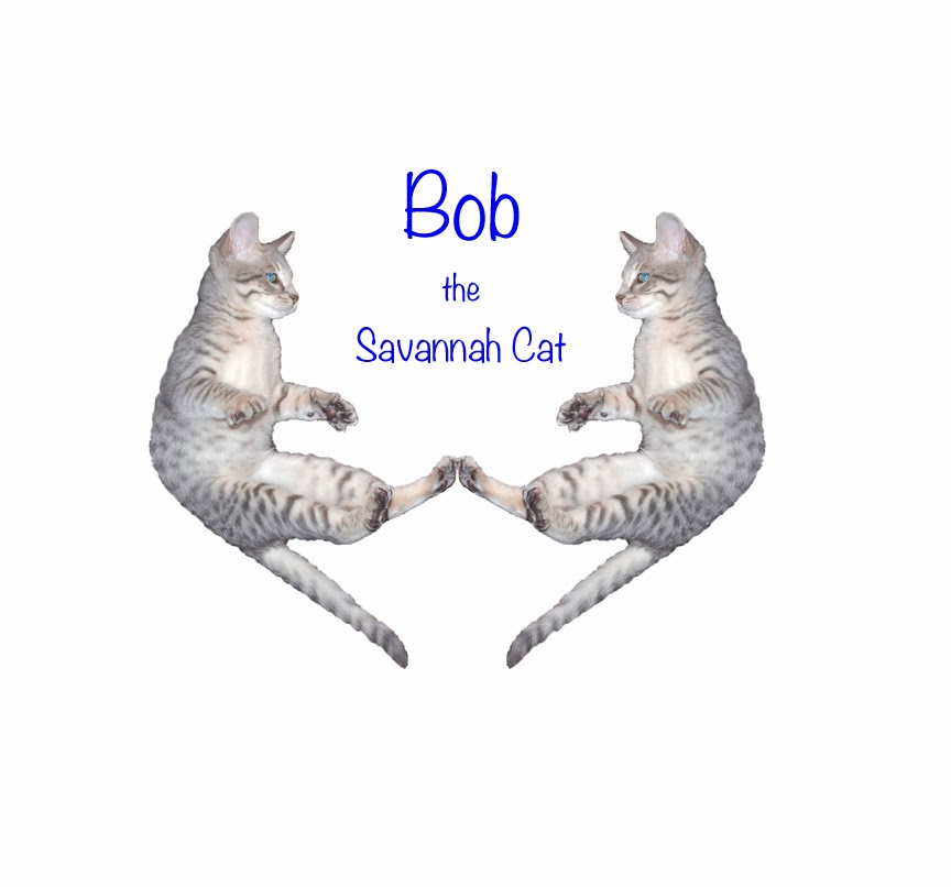 Bob the Savannah Cat