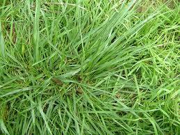 Tutti pazzi per le piante di che erba sei for Festuca prato