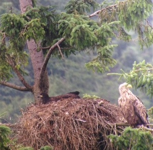 Iona watches over her chick at the nest