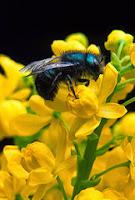 Contoh Report Text Beserta Soal dan Jawaban Bees