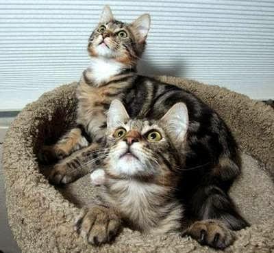 kucing-maine-coon-lucu_3567789