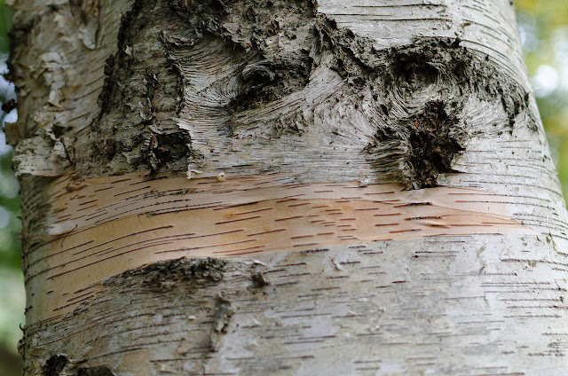 bark on a birch tree