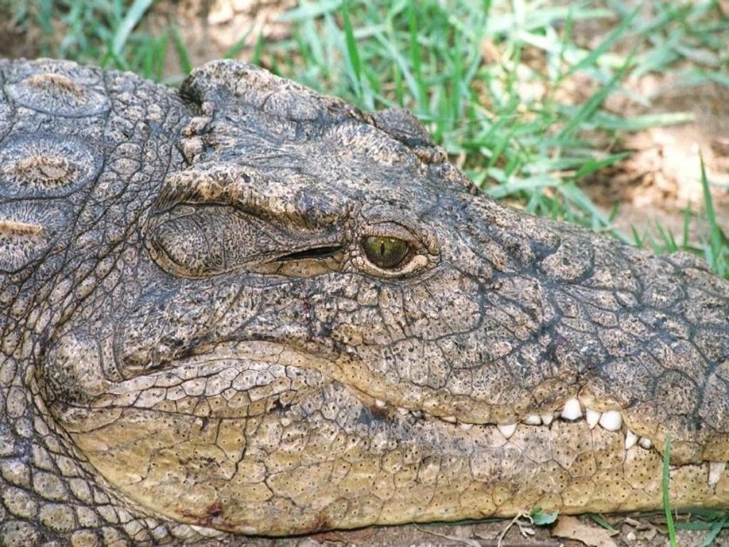 http://4.bp.blogspot.com/-WNWbGc3vZT8/TnDBdlEHxiI/AAAAAAAAAIw/V04_4AdDumQ/s1600/crocodile-wallpapers-1-706878.jpg
