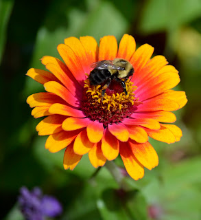 bumble bee feeding in the center of brightly colored flower