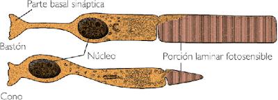 células fotosensibles de la retina bastones conos