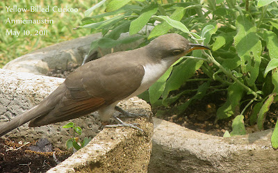 Annieinaustin, yellow-billed cuckoo