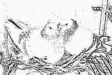 Pigeons reproducteurs