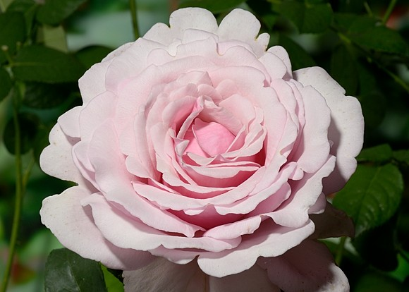 Memorial Day rose сорт розы фото