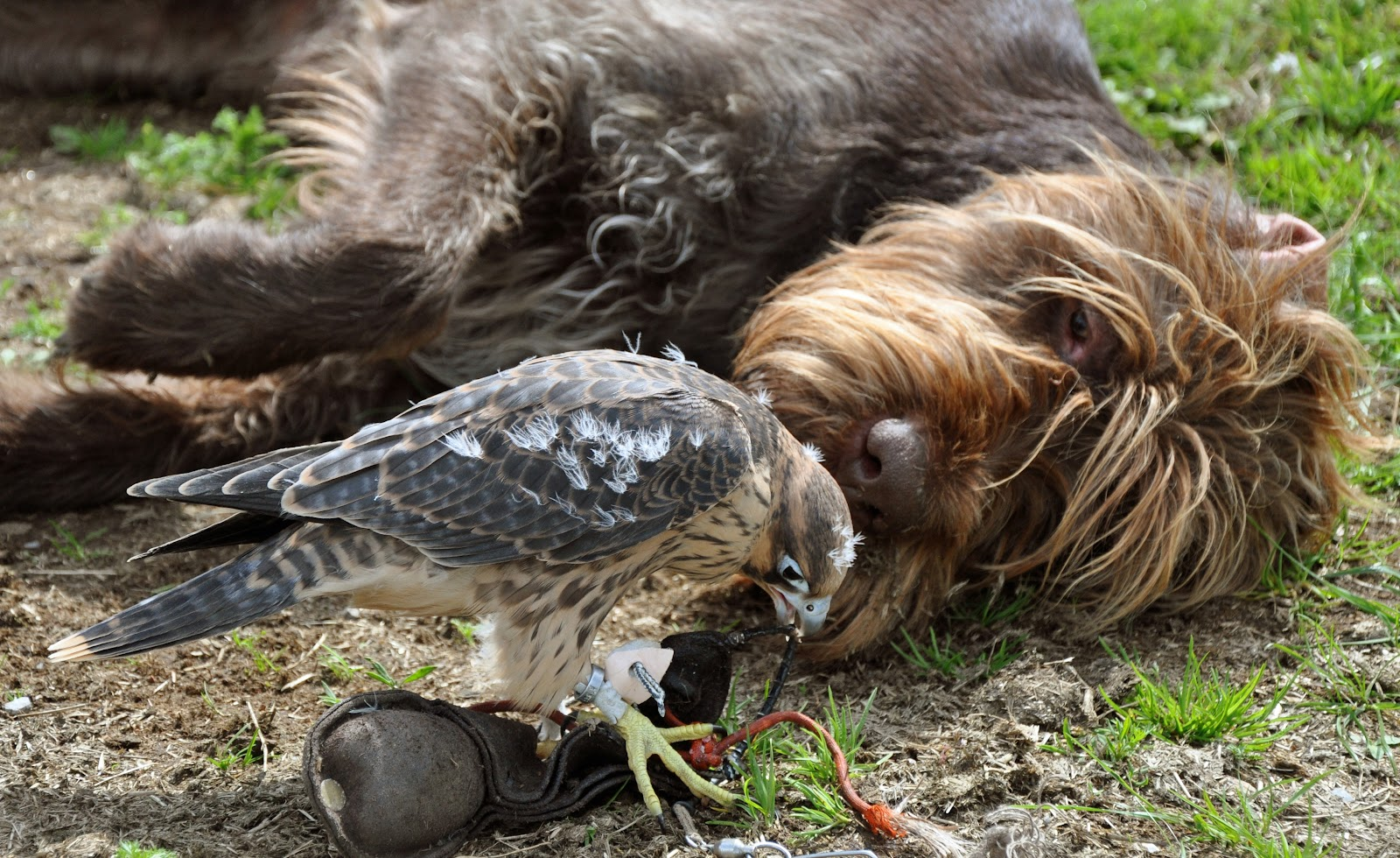 Will Hawks Eat Small Dogs