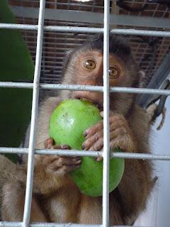 Virgo the macaque in quarantine