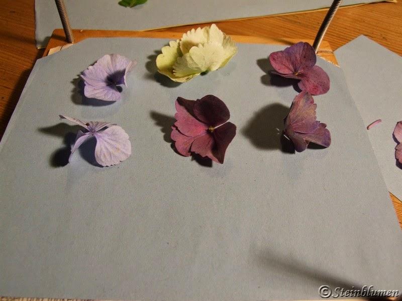 Hortensien in Blumenpresse