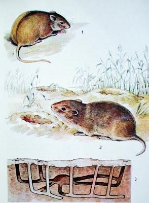 1. Полевая мышь 2. Обыкновенная полевка 3. Мышиная нора