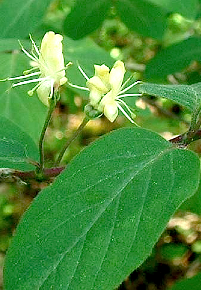 http://fr.wikipedia.org/wiki/Lonicera_xylosteum