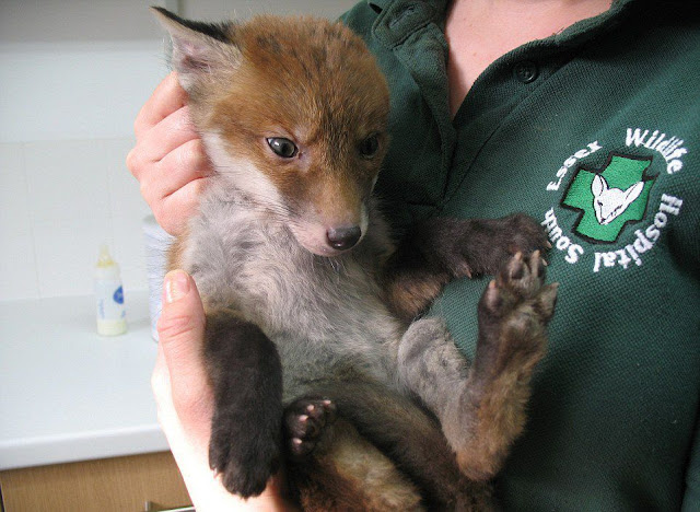 A fox cub caked in mud pit rescued from hole on a London construction site, baby fox, fox pictures
