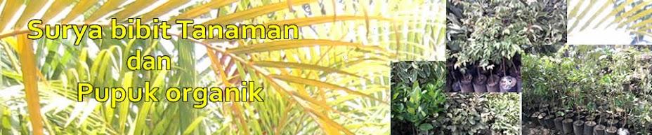 Bibit Durian Kani
