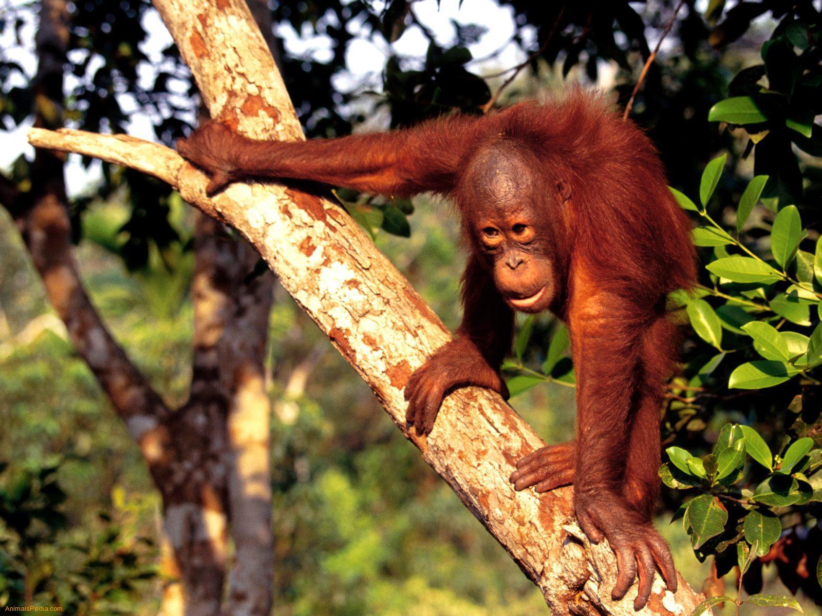 Рассказ секс с орангутангом 8 фотография