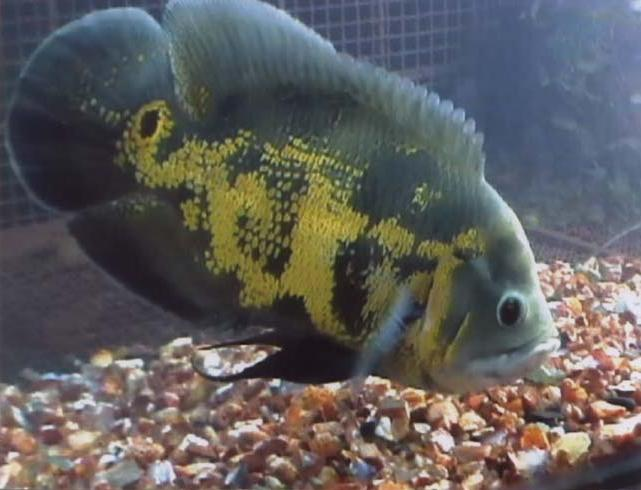 miracles of allah: Allah's Name Appears on an Oscar Fish