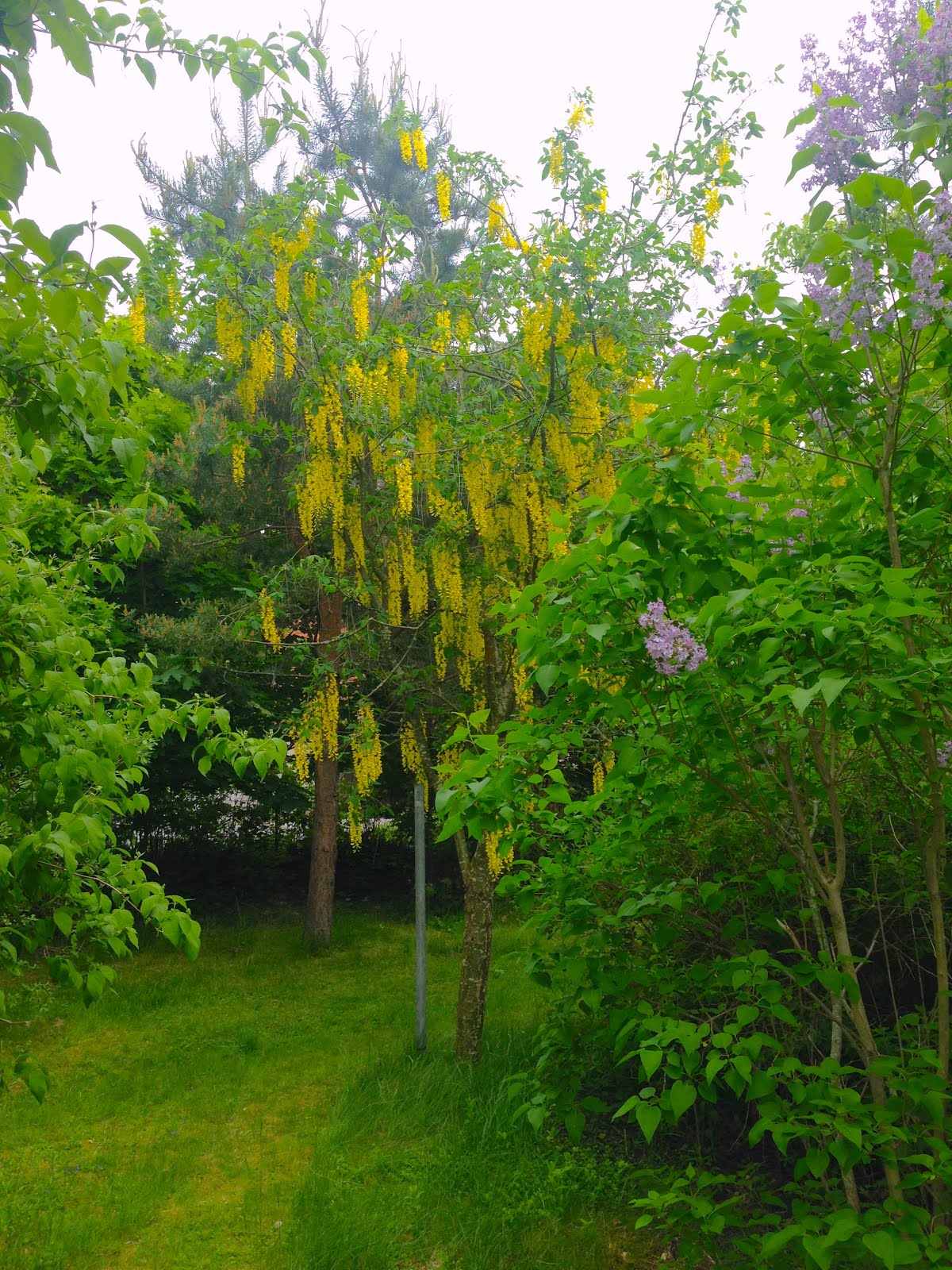 Det vackra gullregnet 11.6.2017