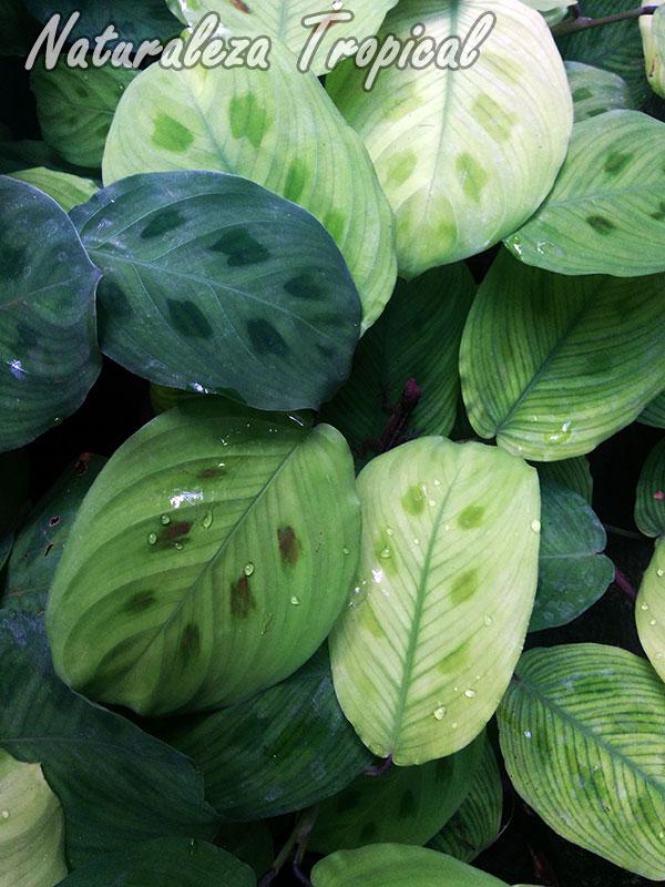 Planta del género Maranta