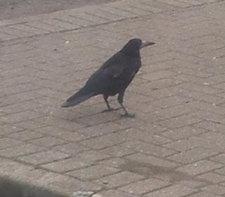 Whoopidooings: Crow