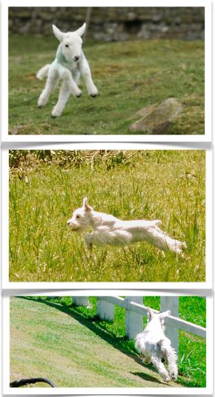 fotos schnauzer miniatura branco